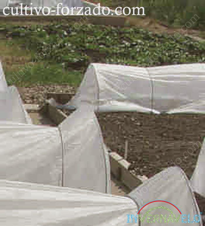 Usando los micro túneles Invernavelo para el control del crecimiento de los cultivos.